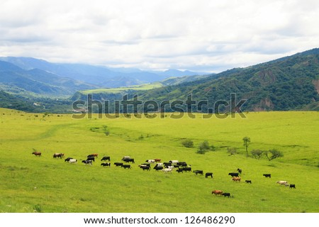 Cattle grazing on a green field near Salta, Argentina - stock photo