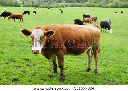 Cattle Grazing on Farmland in England  - stock photo