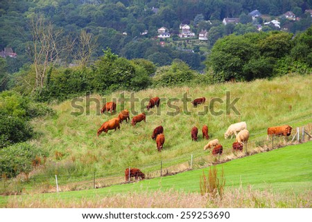 Cattle Grazing on Farmland near Dieppe, Normandy, France - stock photo