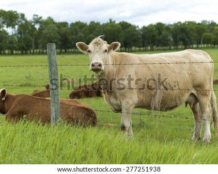 Cattle in a field, Manitoba, Canada - stock photo