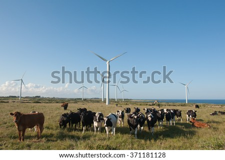 Cattle in a field of wind turbines