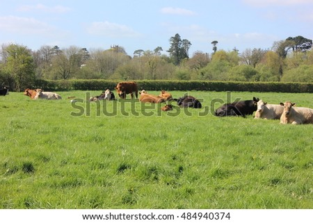 Cattle in a green field near Exeter, Devon, UK