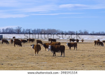 Cattle in a pasture grazing - stock photo