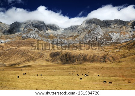 Cattle in Cordiliera Huayhuash, Peru, South America - stock photo