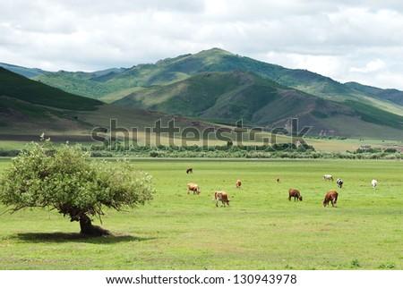 cattle in Inner Mongolia - stock photo