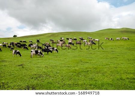 cattle in prairie, China Inner Mongolia - stock photo