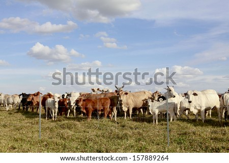 cattle in the field with fence - stock photo
