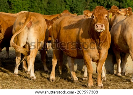 Cattle in the French countryside. - stock photo