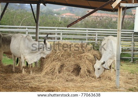 Cattle in Yards - stock photo