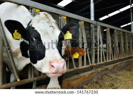 cattle of cow in a stable feeding and drinking