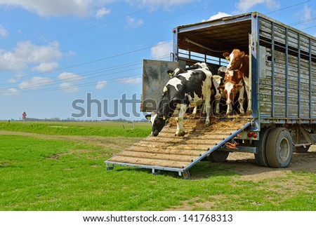 cattle of cows walking out of livestock transport truck in meadow