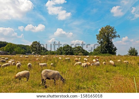 Cattle of sheep grazing in meadow with blue cloudy sky. Zuid Limburg. The Netherlands. - stock photo