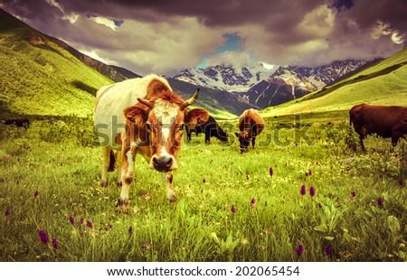 Cattle on a mountain pasture. Retro style. - stock photo