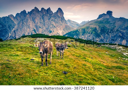 Cattle on a mountain pasture. Summer morning in National Park Tre Cime di Lavaredo. Colorful Landscape in Dolomite Alps, Italy, Europe. - stock photo