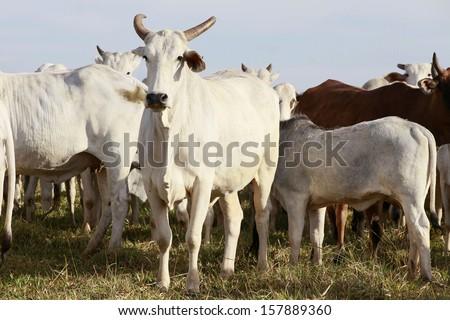 cattle on farmland, brazil - stock photo