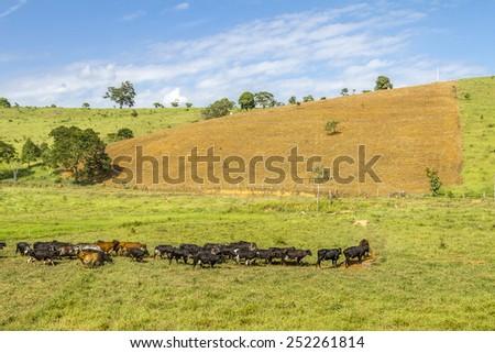 Cattle on the brazilian pasture - stock photo
