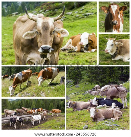 cattle on the field collage - stock photo