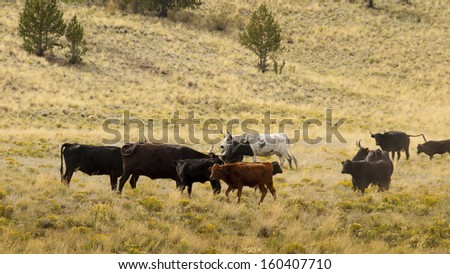Cattle on the open range in Colorado. - stock photo