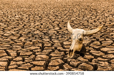 cattle skull on the cracked ground