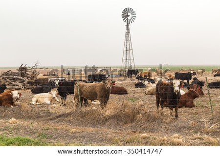 Cattle staring through barbed wire fence with windmill thick fog in background.  Texas High Plains area of Panhandle.