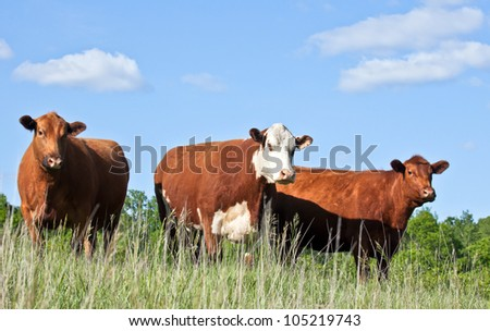 Cattle trio - one red hereford and two red angus cows standing on a hillside