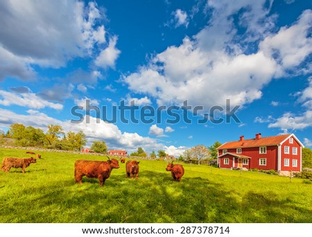 Cattle with highland cows in front of typical old wooden farm houses in Smaland, Sweden - stock photo