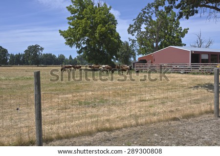 Cattles in a country farm Willamette valley Oregon. - stock photo