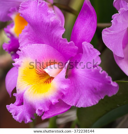 Cattleya orchid hybrids. Beautiful orchid blooming in garden with the focus shallow depth of field - stock photo