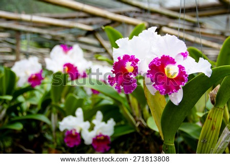 Cattleya Orchids - stock photo