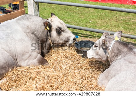 Catttle lying in hay behind a fence - stock photo
