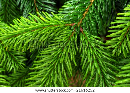Caucasian Fir, Christmas tree