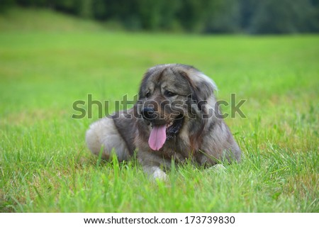 Caucasian Shepherd Dog Owtscharka panting - stock photo