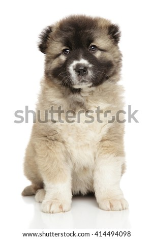 Caucasian shepherd puppy in front of white background - stock photo