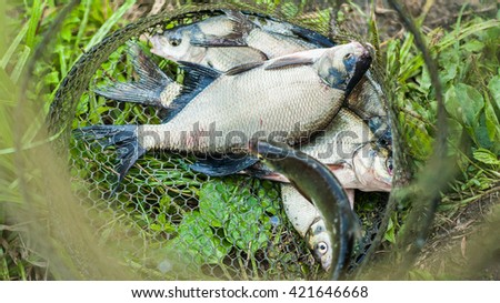 Caught crucial carp fish in the fishing net on the grass of river bank - stock photo