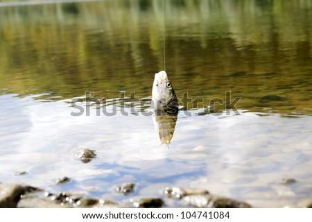 caught on bait fish - stock photo