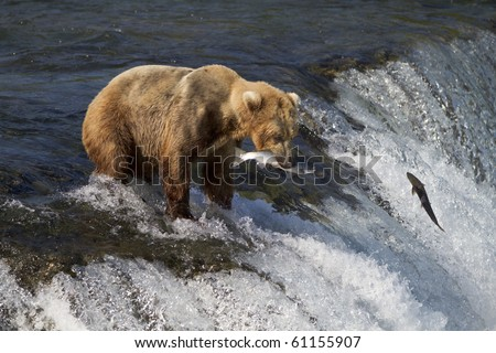 Caught One - A grizzly bear catches a sockeye salmon at Brooks falls, Katmai National Park, Alaska.