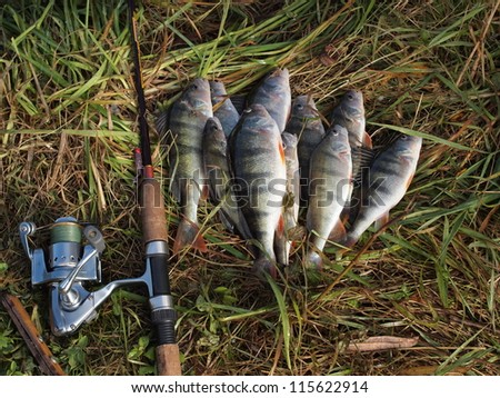 caught perches  and fishing-rod on grass - stock photo