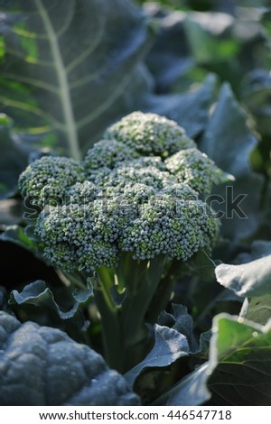 Cauliflower broccoli plant growing in a vegetable garden