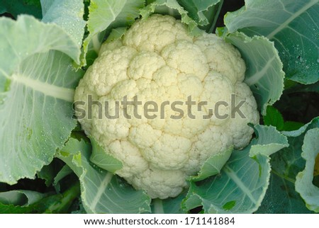 cauliflower in the garden - stock photo