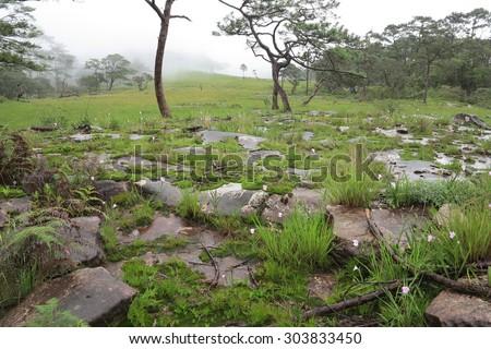 Caulokaempferia alba on Bolaven Plateau in Laos - stock photo