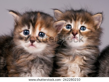 Cautious cute siberian kittens over grey background. Focus on the kitten on the right - stock photo