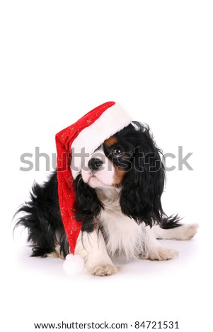 Cavalier dog with christmas hat