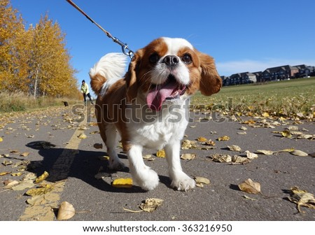 Cavalier King Charges Spaniel going for a walk