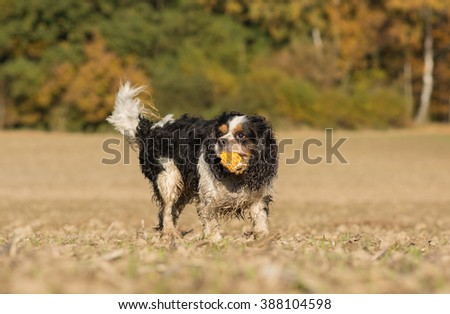 Cavalier King Charles dog playing with a corncob - stock photo