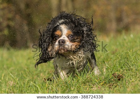 Cavalier King Charles dog shaking itself dry - stock photo