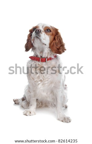 cavalier king charles in front of a white background