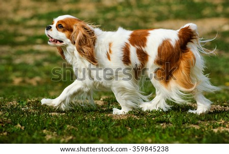 Cavalier King Charles marching through a field