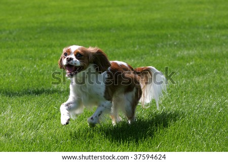 Cavalier King Charles playing