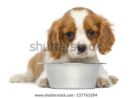 Cavalier King Charles Puppy lying in front of an empty metallic dog bowl, 2 months old, isolated on white - stock photo