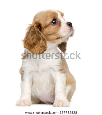 Cavalier King Charles Puppy, 2 months old, sitting and looking up, isolated on white - stock photo